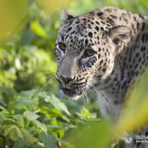 Тропа Леопарда